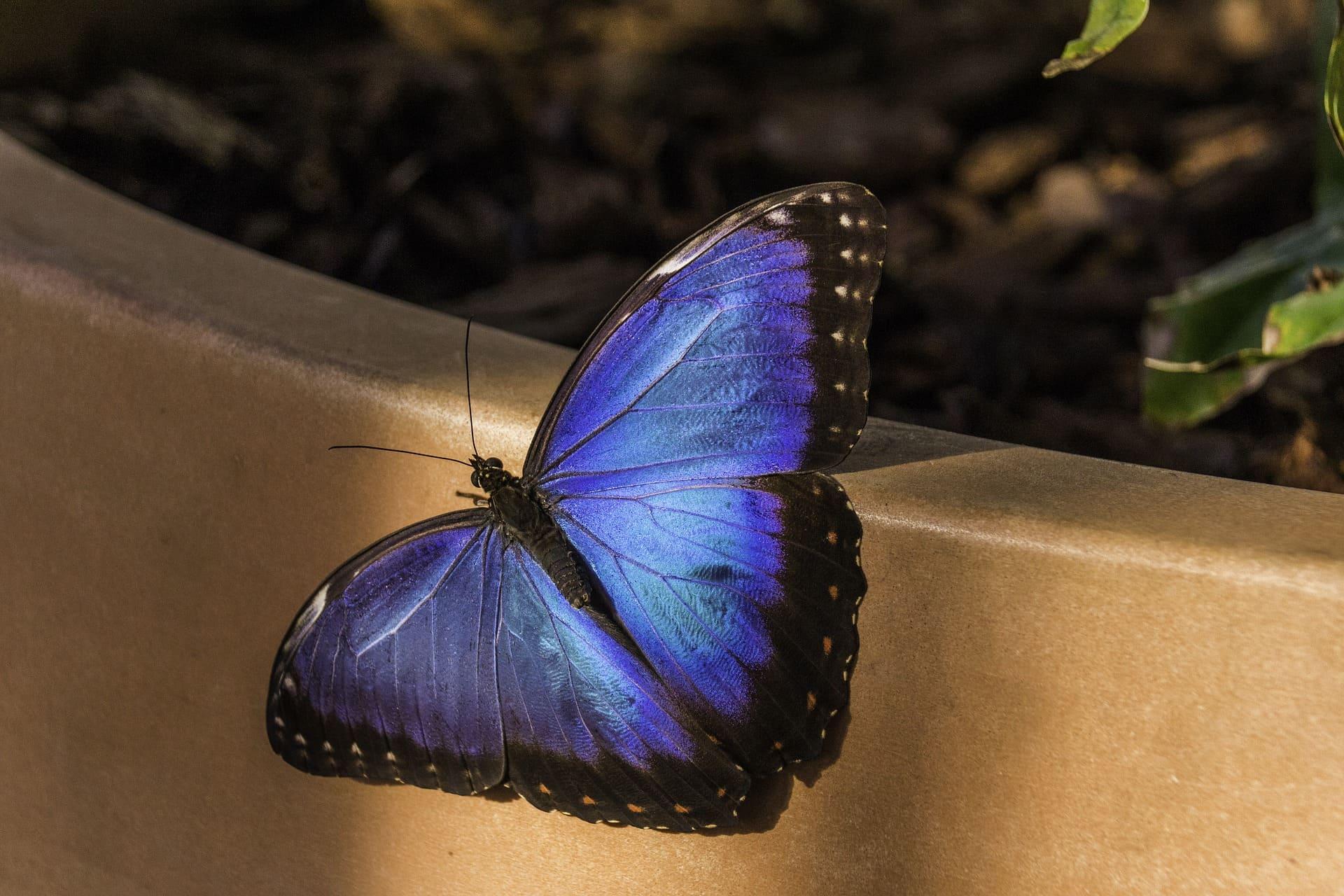 papillon bleu indigo