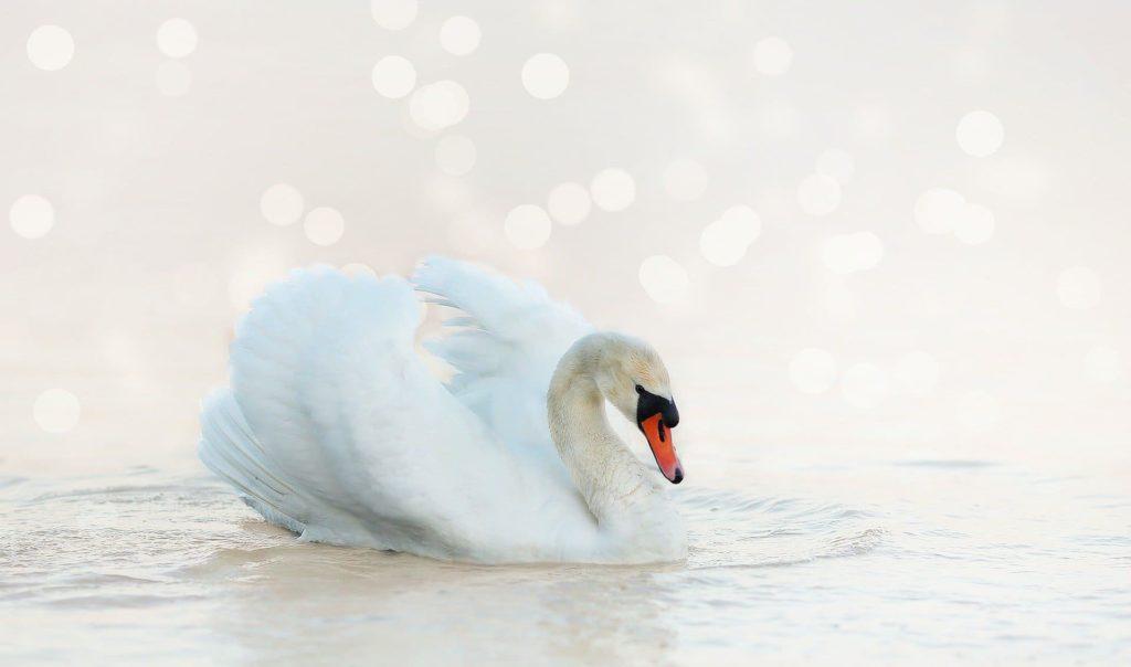swan-4060696_1920